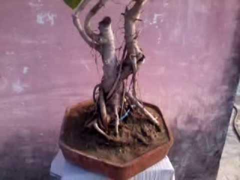 indian ficus benghalensis(banyan) bonsai part-1