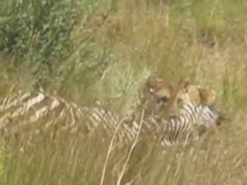Lion attacks Zebra. Pilanesberg National Park, South Africa.