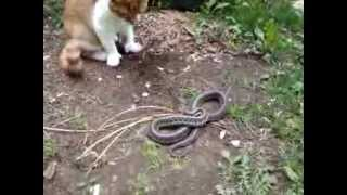 Charley the Orange Cat vs. Snake in the Grass.