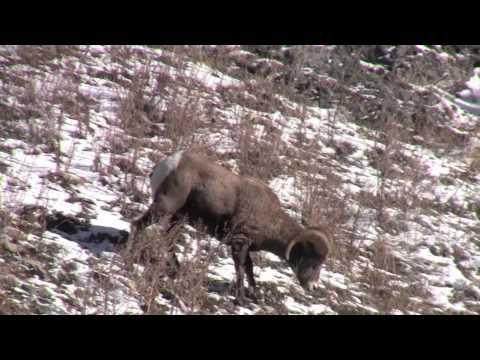 Yellowstone 2011-2012 -- Big Horn Sheep