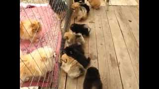 "Kennel ""iz Knyaginino"" First Walk Litter 36,37,38,39 Puppies Pomeranian &klein For Sale! (2)"