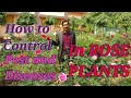 How to Control Diseases and Pest Problems in Rose Plant.