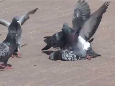 Жестко секс голубей фото студентки канска регина