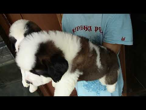 Show Breed Saint Bernard puppies available for sale in Bangalore contact 9742511176
