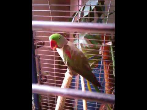 Разные виды кольчатых попугаев. Самец Александрийского попугая и самка Крамера!