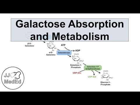 Galactose Absorption and Metabolism | Leloir Pathway and Gal
