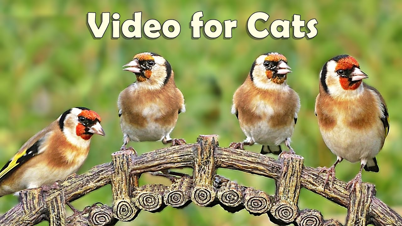 Download Videos for Cats to Watch Birds : 8 HOURS at Goldfinch Garden
