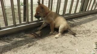 生後50日の山陰柴犬子犬が穴掘り。そして涼む!