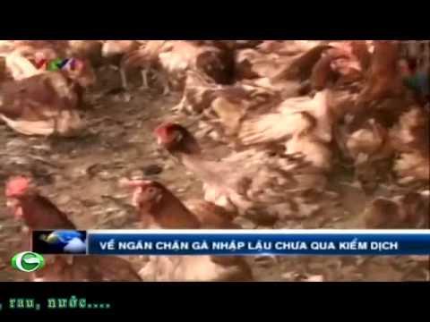 Gà nhập lậu vào Việt Nam. An toàn vệ sinh thực phẩm