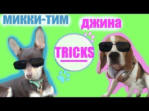 БИГЛЬ ДЖИНА и ТОЙ ТЕРЬЕР ТИМ!!!! DOG TRICKS сравнение команд у разных пород...