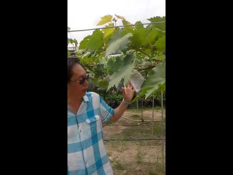 Growing Grape Vineyard In Tropical Climate