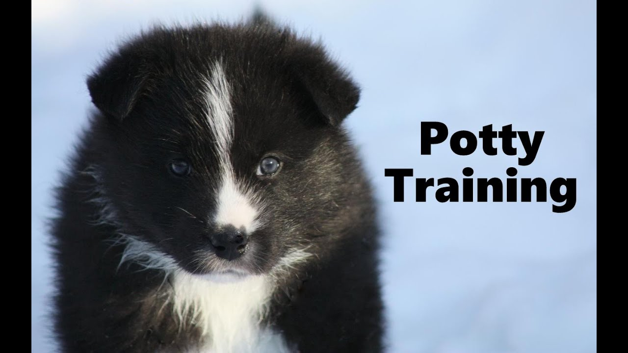 Karelian Bear Dog For Sale