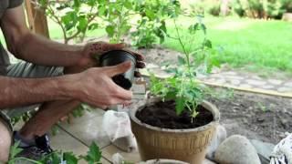 Uprawa pomidora na balkonie