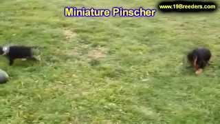 Miniature Pinscher, Puppies, For, Sale, In, Tampa, Florida,fl,st Petersburg,clearwater,