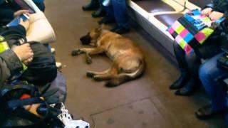 Собака в метро :)