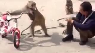 Не стоит отбирать сигарету у обезьяны Приколы