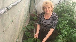 видео Как выращивать огурцы, особенности растения.