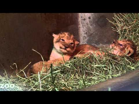 Lion Cubs Take A Lickin At Woodland Park Zoo Seattle