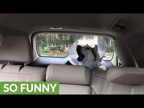 Post-op 'drunk' husky howls in protest