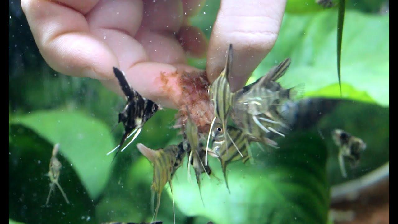 Puesta y cr a de escalares parte 5 los alevines ya for Criadero de pescado