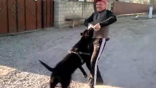 pitbul кличка кинг молдова комрат