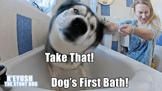 Bathing My 5 Year Old Husky For The First Time! He Hated It!