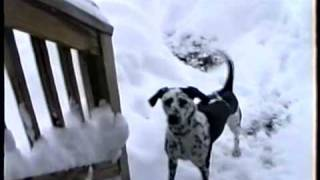 Dalmation Dog Loves The Snow!