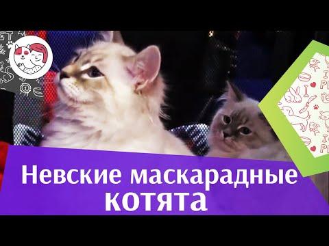 Порода кошек - невские маскарадные