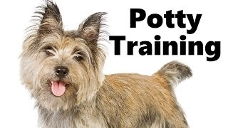 How To Potty Train A Cairn Terrier Puppy - Cairn Terrier House Training Tips - Cairn Terrier Puppies