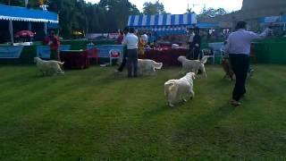 The Kolkata Dog Show 1 (golden Retiiver)