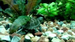Болотная черепашка в аквариуме