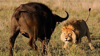 Must Watch! King Lion vs BuffaloㅣKing Lion Hunting BuffaloㅣWild Animal Attacksㅣ킹라이온 vs 버팔로ㅣ킹라이온의 버팔로