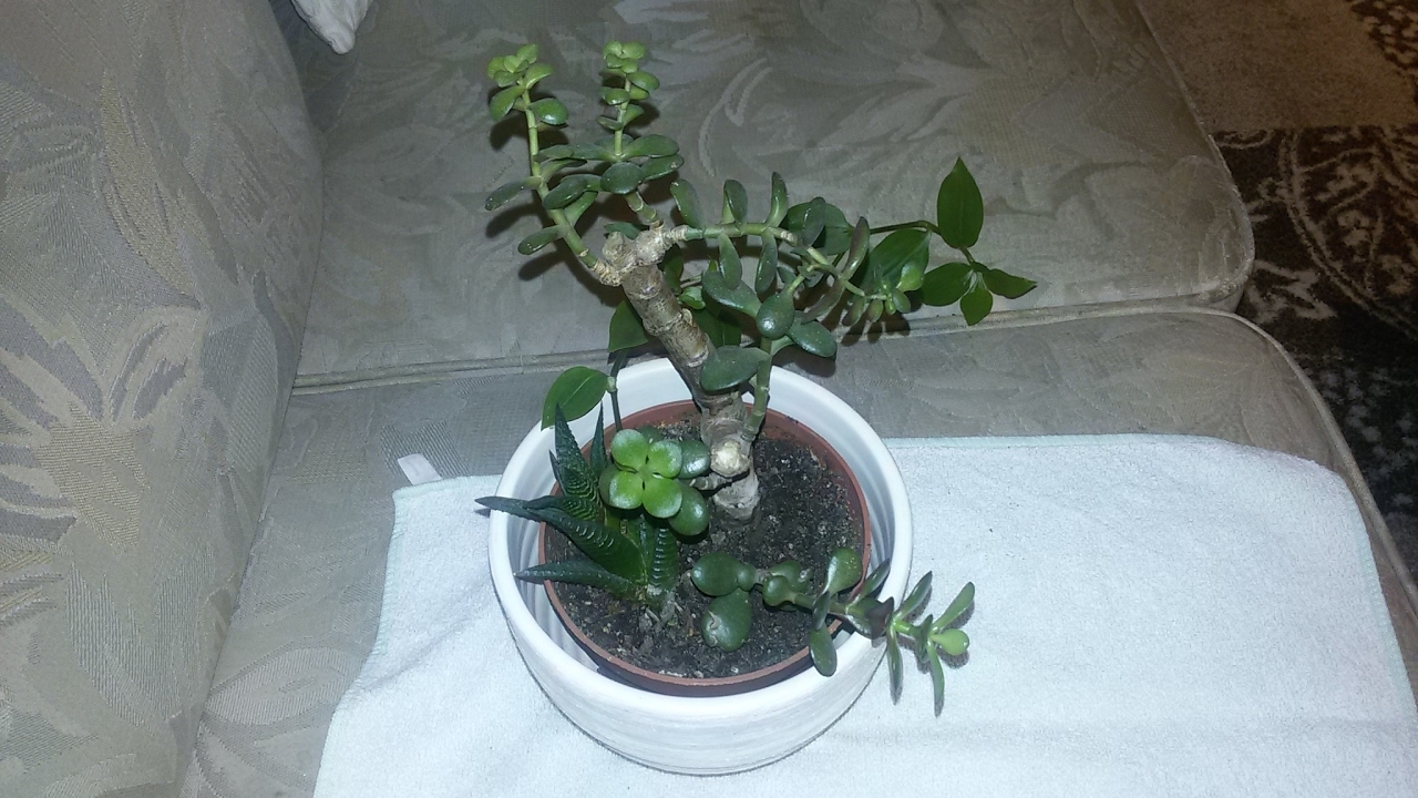 Crassula Ovata (Para Ağacı, Bereket Bitkisi)