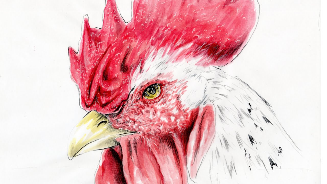 how to draw animal white rooster come disegnare un gallo bianco disegno time lapse youtube