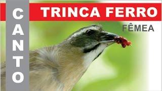 100% CANTO FEMEA - TRINCA FERRO ou TIA CHICA ou PIXARRO - #2