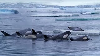 Killer Whales Working Together to Hunt Seals on Ice | BBC Earth