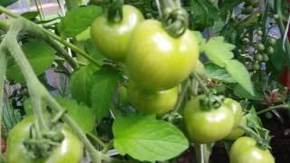 Szklarnia z pomysłem pomidory