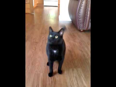 Cat that can Fetch like a dog! Funny Pet Tricks! Snookie the Cat