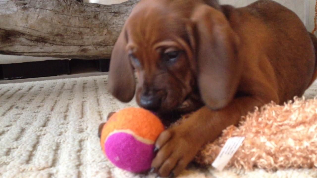 Cutest Redbone Coonhound Puppy Face Ever Youtube