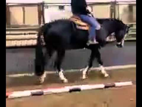 Black Overo Paint Gelding For Sale