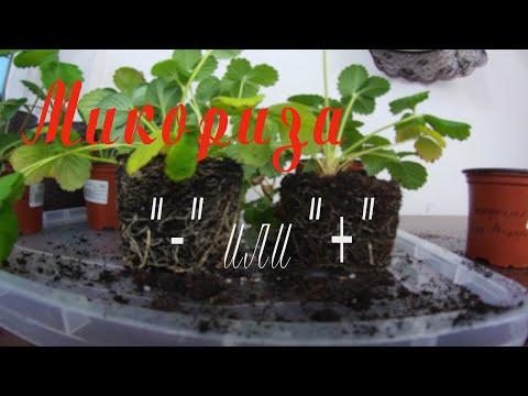 грибокорень симбиоз мицелия гриба и корней высшего растения