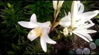 Садовые лилии.. Залог пышного цветения!!
