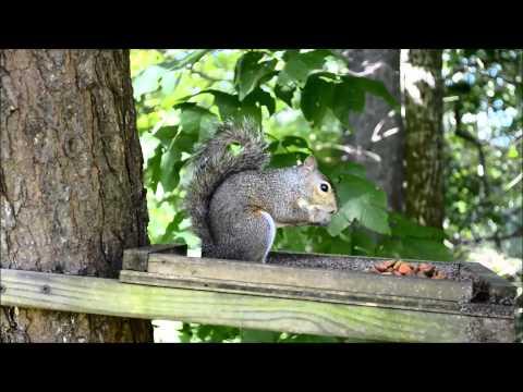 Gray Squirrel Eating Dog Food