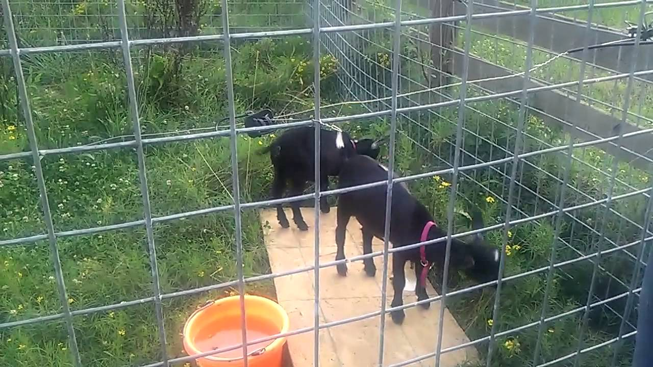 Nigerian dwarf goats testing electric fence part 2