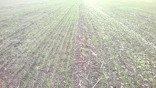 Пшеница по гороху и подсолнуху сравнение#1