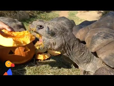LIVE: Galapagos Giant Tortoise Eating Pumpkin | The Dodo LIVE