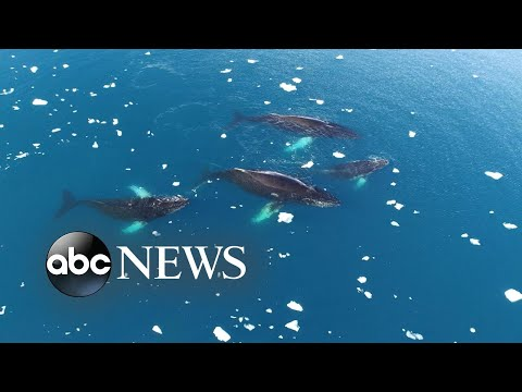 Scientists study humpback whales for clues on climate change impact