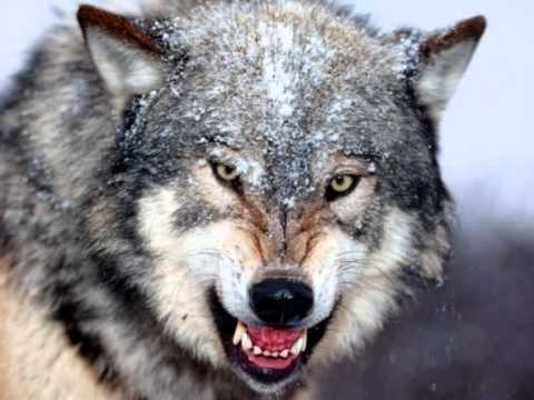 Manowar - Spirit Horse Of The Cherokee (& Wolf sounds)