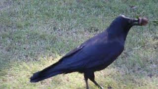 Crow using Honky Nut. Stuffs it with grass. Intelligent crows using tools.