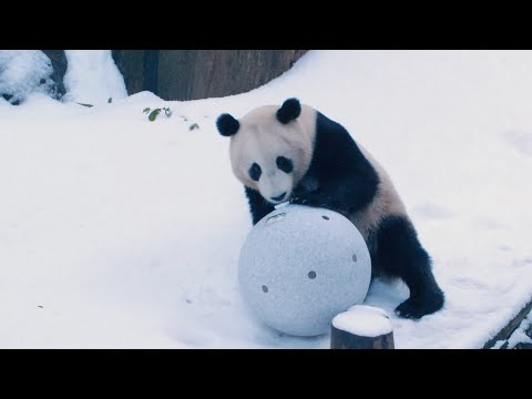 Let It Snow For Pandas From San Diego